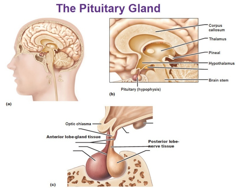 hypothalamus and pituitary glands relationship memes