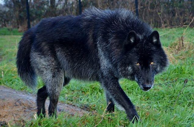American/European Wolfdog: chien-loup américains et européens et ...