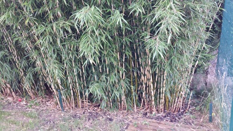 cr ation de ma haie de fargesia robusta en photo page 7 forum des fous de bambous. Black Bedroom Furniture Sets. Home Design Ideas