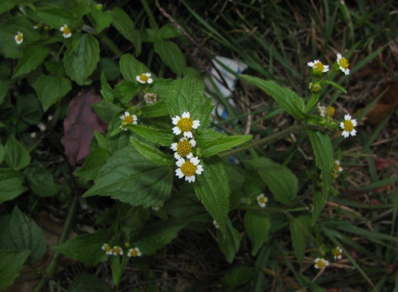 Plantes à identifier de sousbois
