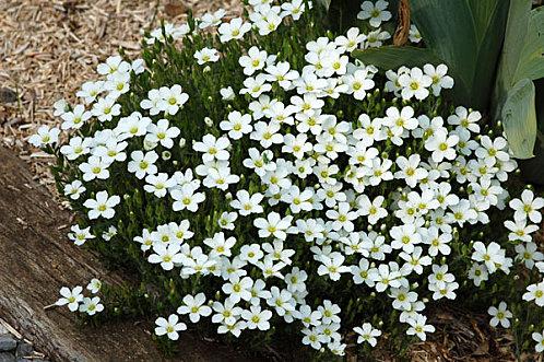 Petites vivaces tapissantes et coussinantes pour rocaille for Fleurs blanches vivaces