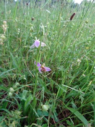 Orchidée abeille