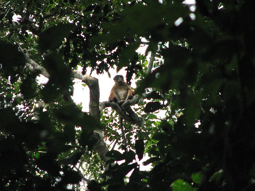 Une nouvelle espèce de singe découverte en RDC 96461310