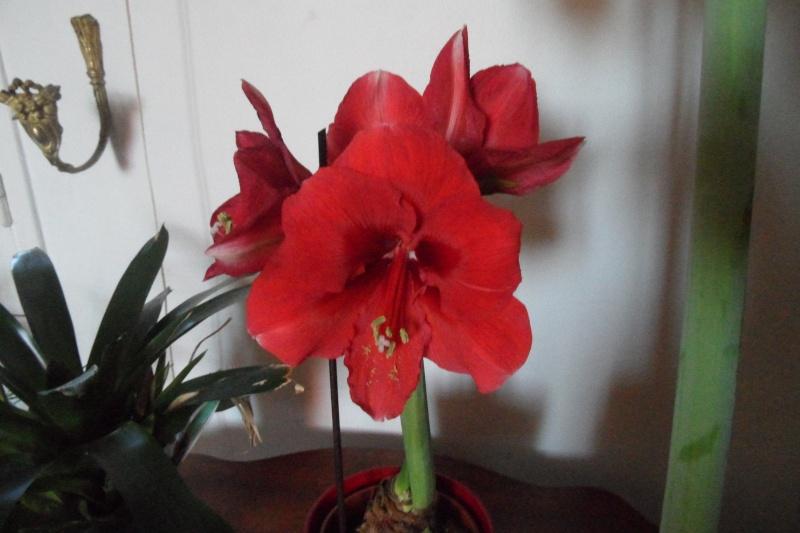 Amaryllis hippeastrum culture entretien floraison for Amaryllis ne fleurit pas
