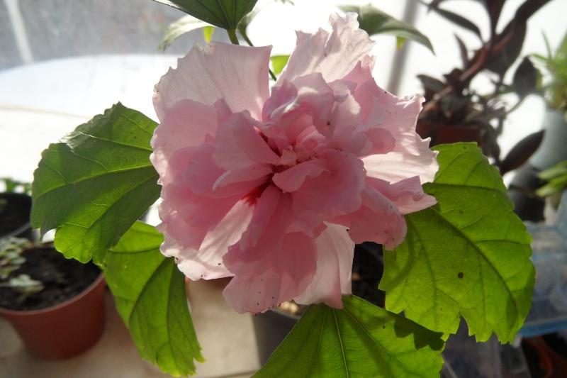 Voici mes hibiscus page 2 - Bouture de l hibiscus de jardin ...