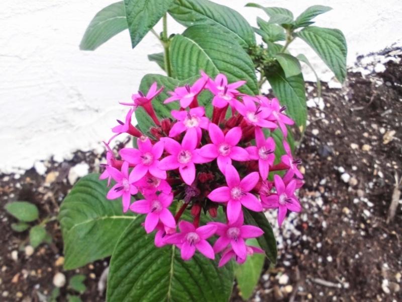 Fuschia dans mon jardin for Plante fushia exterieur