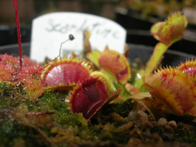 Dionaea 'Scarlatine' Photos