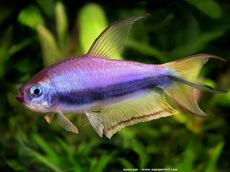 Quels poissons avec des guppy for Poisson tetra rouge