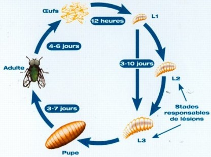 Recherches sur les myiases asticots de mouches - Comment tuer des mouches ...