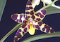 Cymbidium, Cymbidiella, Grammatophyllum, Ansellia.....