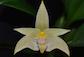 Bulbophyllum, Cirrhopetalum, Trias et Alliés