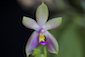 Phalaenopsis, Paraphalaenopsis et Alliés