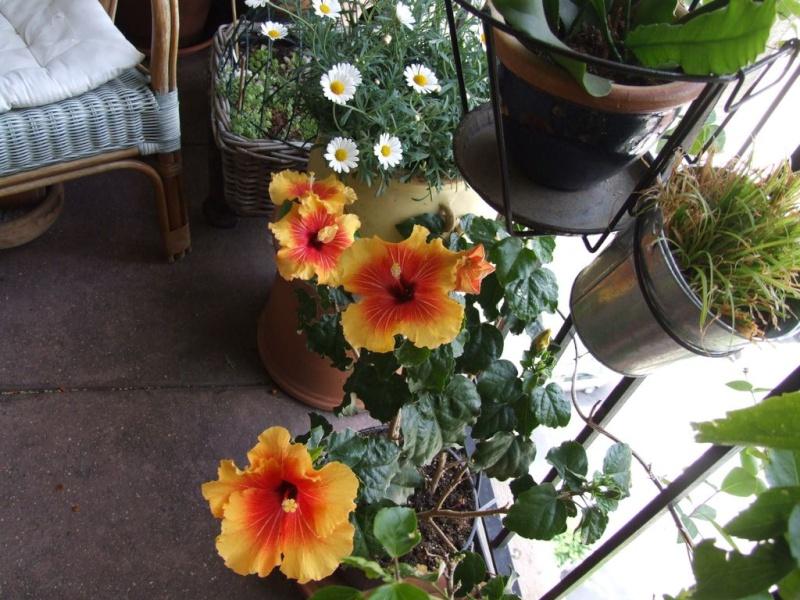 Hibiscus rosa sinensis et hybrides conseils - Taille de l hibiscus ...