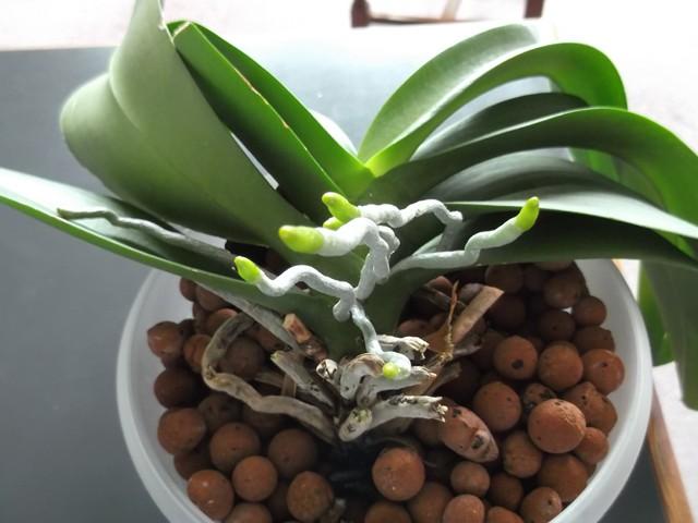 floraisons des orchid es page 34. Black Bedroom Furniture Sets. Home Design Ideas