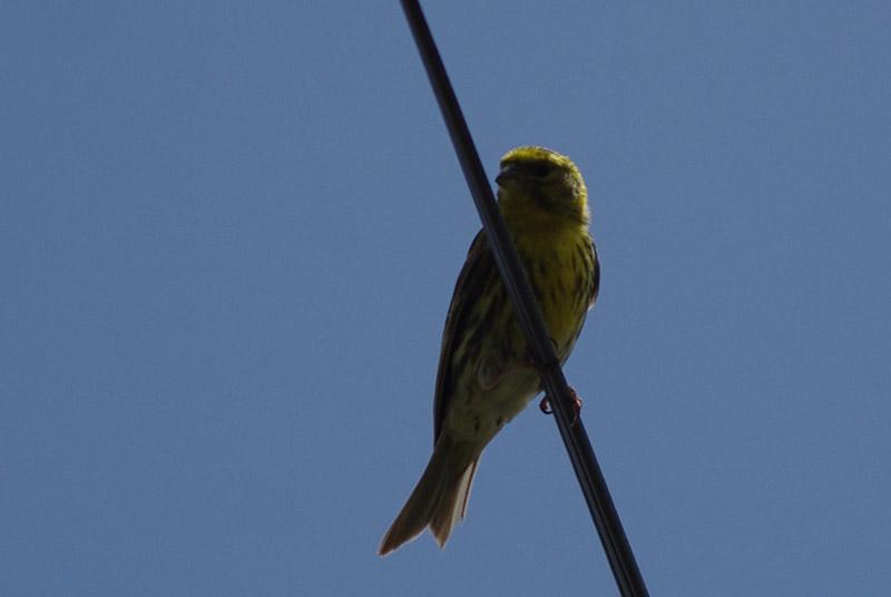 Reconnaitre les oiseaux de nos jardins page 8 for Oiseaux de belgique reconnaitre