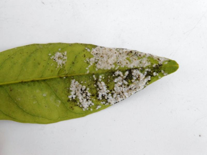 Parasites sur feuilles d 39 oranger arbres arbustes et rosiers forum du jardin et du jardinage - Oranger du mexique feuilles jaunes ...
