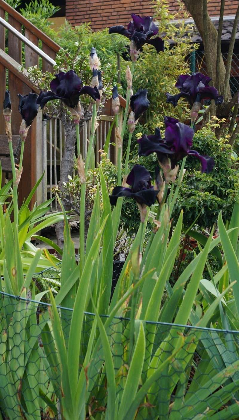 schwertliliengew chse iris tigrida ixia sparaxis crocus freesia montbretie u v m seite 2. Black Bedroom Furniture Sets. Home Design Ideas