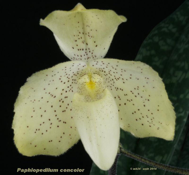 paphio44.jpg