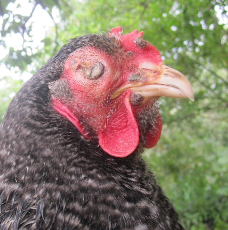 L 39 oeil ferm for Les maladies des poules