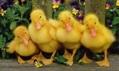 Загальні питання про качок