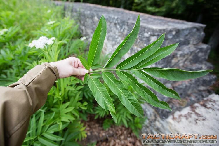 Sureau hi ble sambucus ebulus for Plante 7 folioles