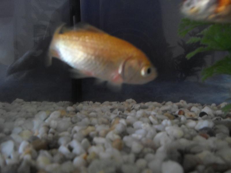 Mon poisson rouge saigne a la base des nageoires for Donner poisson