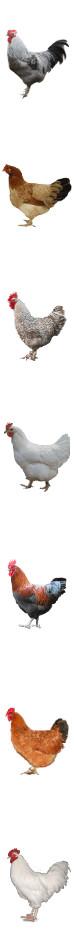poule coq marans fond2