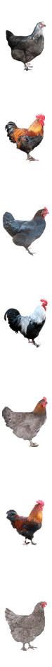 poule coq marans fond1