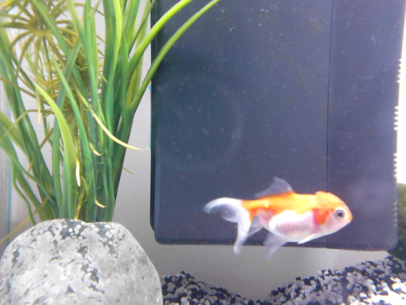 D butante un peu perdue voile de chine forum aquarium for Aquarium 20 litres poisson rouge