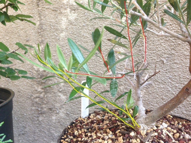 how to grow an olive tree in texas