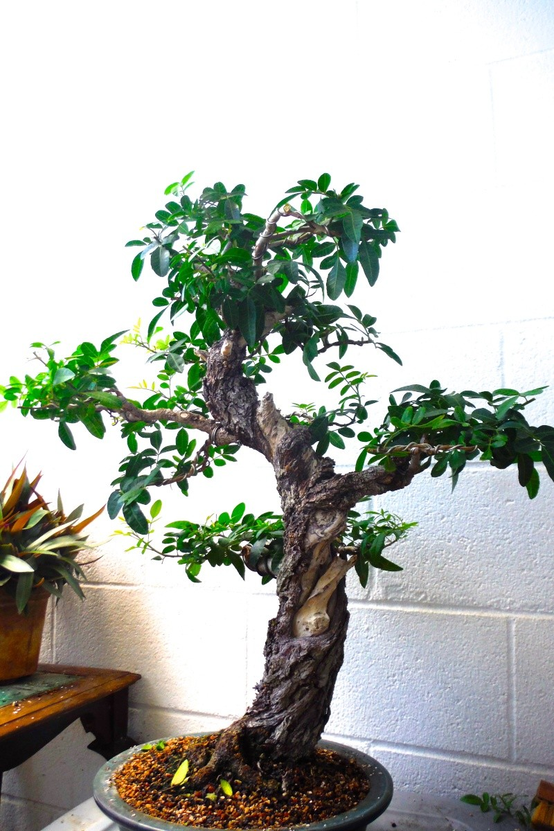Mybonsai aroeira mansa schinus terebinthifolius for Bonsai pepe