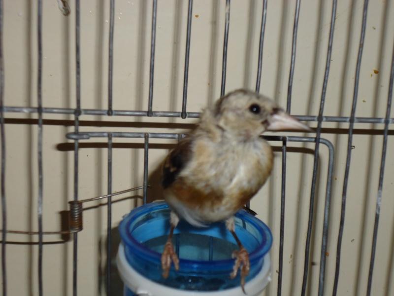 Perte de plumes sur la t te for Maladie poules perte plumes