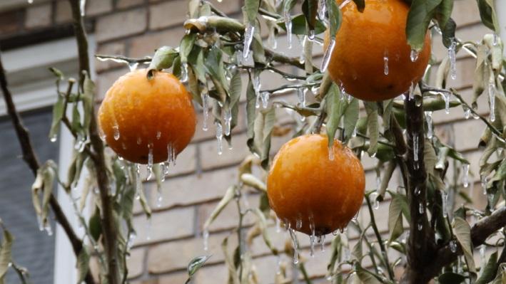 Выращивание цитрусовых как бизнес 100